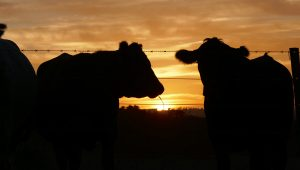 Dandaragan Organic Beef's relaxed cows watching the sunset