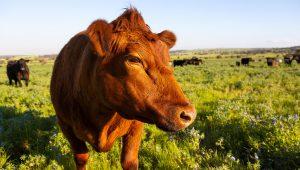 One of Dandaragan Organic Beef's friendly cows keep an eye on us!