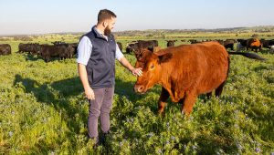 Meet Dandaragan Organic Beef's friendly and super healthy herd