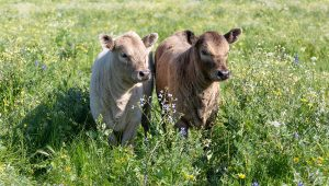 Two little calves enjoying the tall delicious pasture grasses