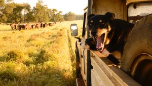 Living the Life...our dogs keep a close eye on the herd